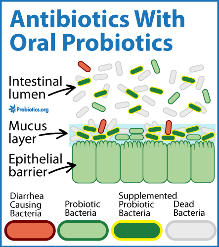 how much probiotics when on antibiotics
